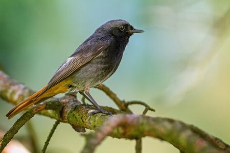 Black Redstart (Phoenicurus ochruros) siting on the branch