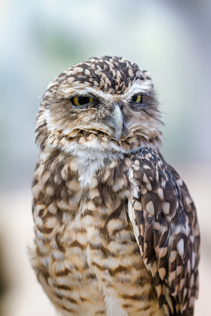 burrowing: Portrait of small owl - Burrowing owl (Athene cunicularia) Stock Photo