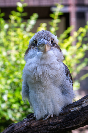 sadly: Laughing Kookaburra (Dacelo novaeguineae) sits sadly on a branch at the zoo Stock Photo