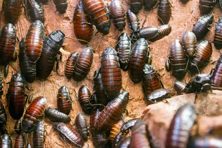 Colony of Madagascar hissing cockroaches (Gromphadorhina portentosa)