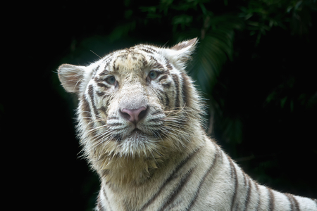White tiger after the bath