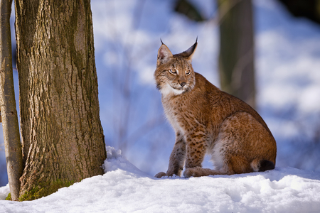 Lynx sitting in the woods in the snow Stock Photo