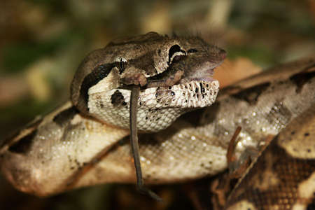 snake -boa constrictor, lunch with mice Stock Photo - 5991536