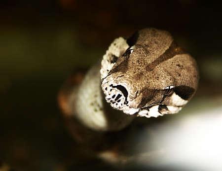 snake - boa constrictor. horror gaze. Big dangerous animal