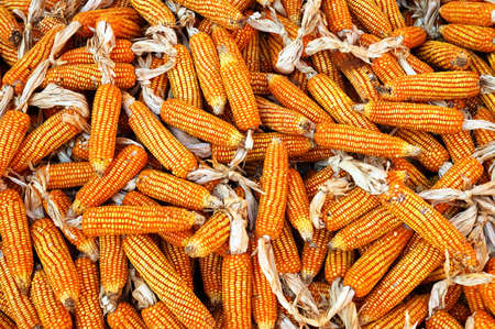 Dry yellow corn. Bright colorful natural texture. photo