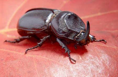 escarabajo: Foto de primer plano de gran insecto - escarabajo rinoceronte.