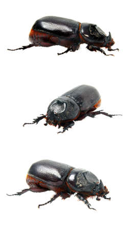 Close-up picture of  big insect - Beetle rhinoceros. Isolated over white. photo