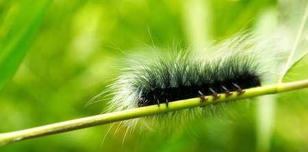 Giant shaggy caterpillar. Macro photo of a bizarre organism.