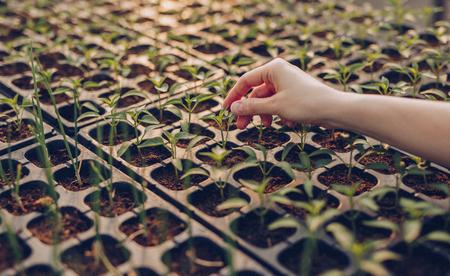 Erntefrauenhand, die Samen im Treibhaus anbaut