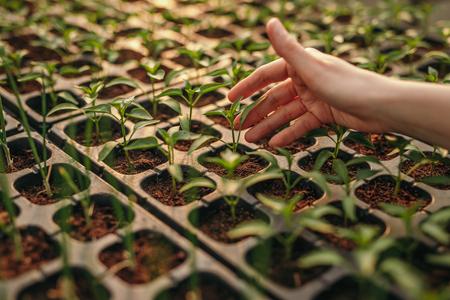 Crop hand touching seedlings on hydroponics farm Reklamní fotografie - 125126248