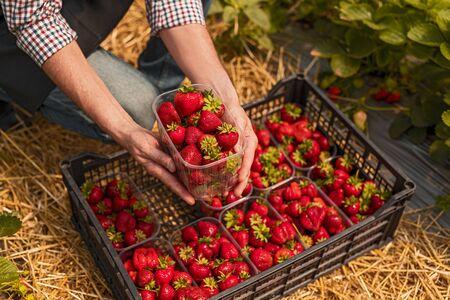 Crop man harvesting strawberries on farm