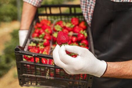 Crop gardener showing ripe strawberry
