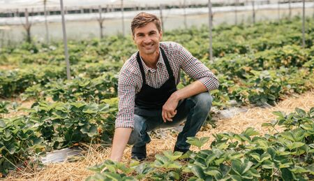 Smiling farmer harvesting strawberries in hothouse