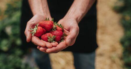 Agriculteur montrant des fraises mûres après la première récolte Banque d'images