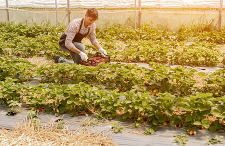 Male gardener with plastic box picking ripe strawberries from plants while working in farm field on sunny summer day