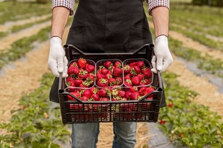 High angle of anonymous man in gloves and apron demonstrating plastic box with ripe strawberries while working in garden during harvest Stok Fotoğraf