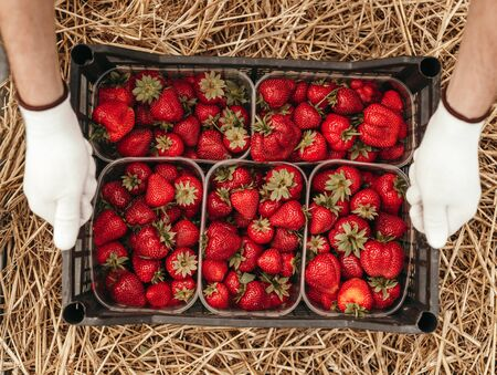 Top view of anonymous farmer in gloves putting plastic box with harvested strawberries on heap of straw while working in garden in summer