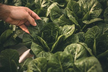 Crop farmer touching leaf of lettuce Banco de Imagens