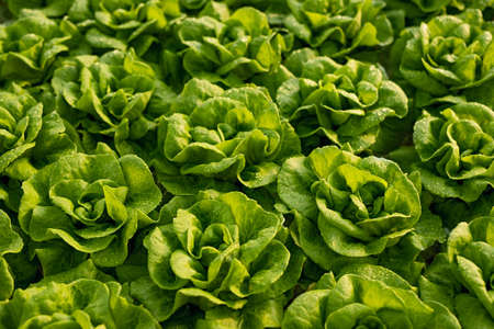 Fresh lettuce with green leaves