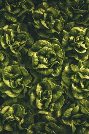Fresh lettuce with dark leaves