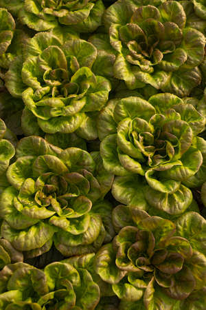 Bunch of raw lettuce in hothouse