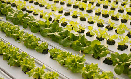 Lettuce sprouts growing on tray
