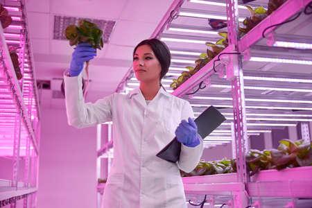 Female scientist examining green Tatsoi plant in hothouse 免版税图像
