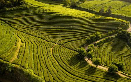 Rows of tea plantations in valley 免版税图像
