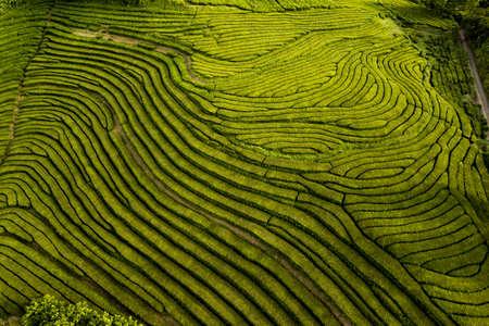 Green natural background of tea fields 免版税图像