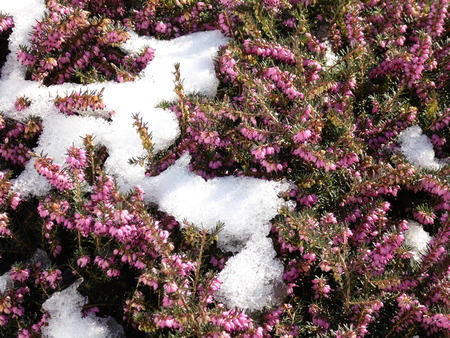 remnant: Spring is coming - A remnant of snow on a flowering heather plant. Stock Photo
