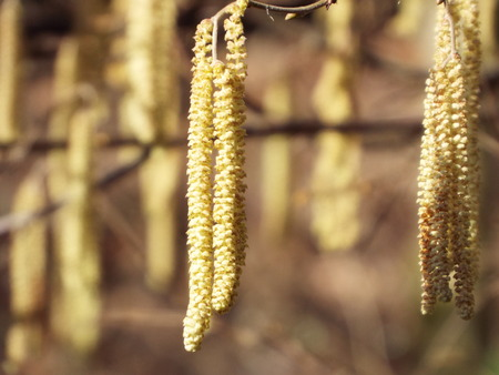 pollinators: Signs of spring - pollen allergy Hanging down kittens of a hazelnut bush Stock Photo