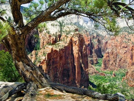 zion: Up Zion Canyon toward The Narrows from Atop Angels Landing framed by Pine Tree, Zion National Park, Utah