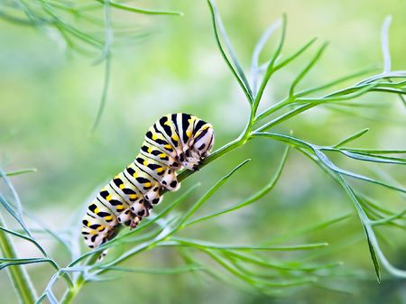 masticate: Butterfly Larvae Munching on Fennel Plant