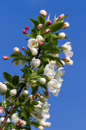 crab apple tree: Crab apple tree limb with blossoms against a deep blue sky