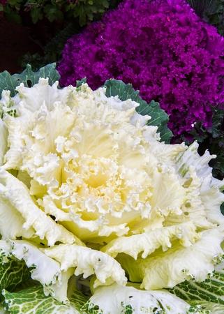 decorative ornamental cabbage in white and magenta photo