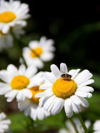 shasta daisy: Bee on Shasta Daisy