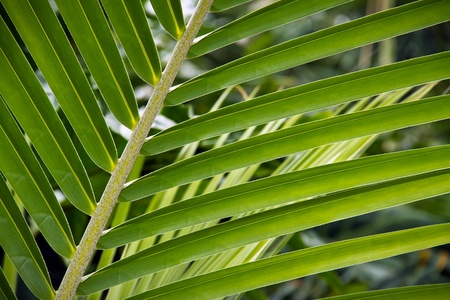 palm frond: Palm Frond verde