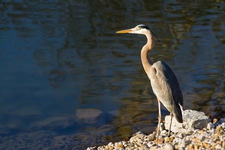 water s edge: Great Blue Heron fising a Riva dell'acqua s