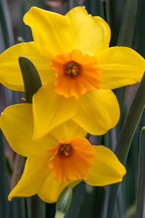 two tone: Gold and Yellow Two Tone Daffodils Stock Photo