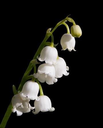 sprig: Lily of the Valley Flower Isolated Stock Photo