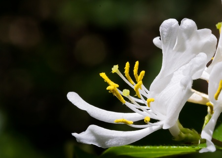 White Honeysuckle Flower with Dark Woods Behind Stock Photo