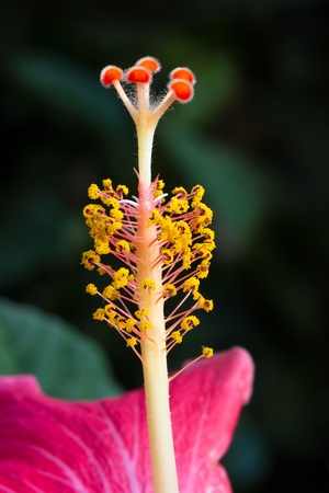 Macro photograph of hibiscus flower stigma Stock Photo - 13507753