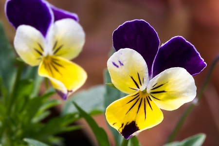 Viola tricolor flower blooming in the spring
