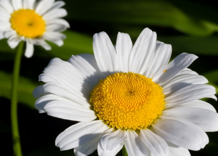 shasta daisy: A white and yellow Shasta daisy with another in the soft-focused background Stock Photo