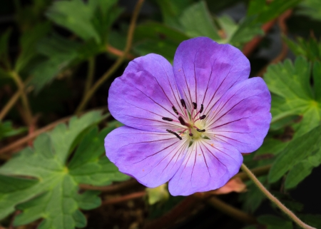 Perennial geranium flower Rozanne variety Stock Photo - 13812261