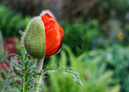 oriental poppy: Orange red oriental poppy flower opening in the spring perennial garden