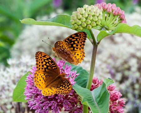 Two great spangled fritillary butterflies on milkweed flowers