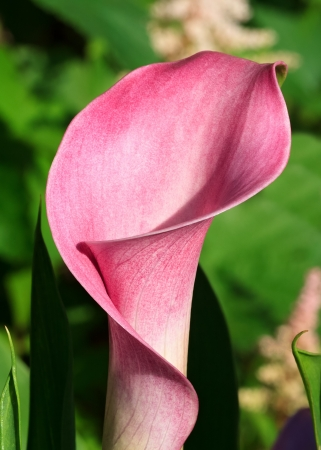 arum: Pink Calla Lily Blooming in Spring