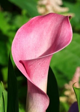 fleur arum: Rose Calla Lily Blooming au printemps