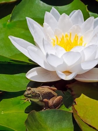 A small frog sits atop water lily pads with a brilliant white flower  photo